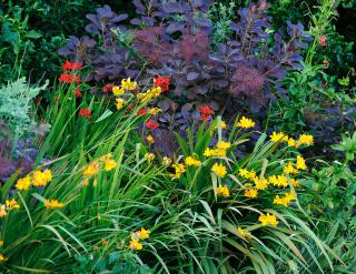 Crocosmia and Cotinus in late July