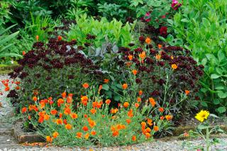 Eschscholzia californica and Dianthus barbatus in early July