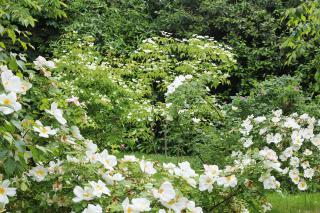 Cornus and species roses in early June