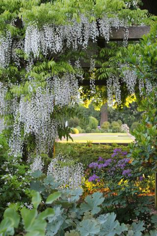Wisteria arbour in May