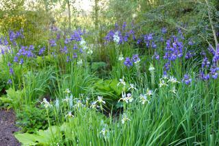 Iris sibirica in late May