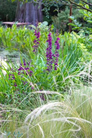 Lobelias and miscanthus in August