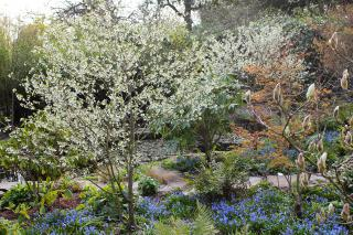Prunus incisa and Szilla in late March
