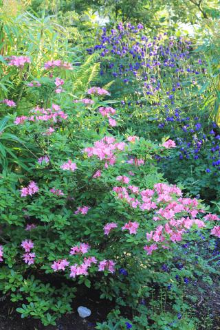 Azaleas and Aquilegias in late May