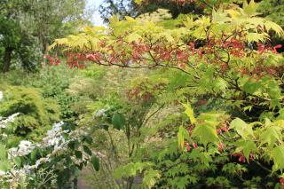 Japanese acers and viburnums in early June