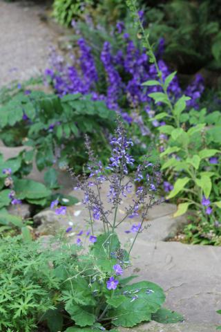 Salvia and Campanula in July