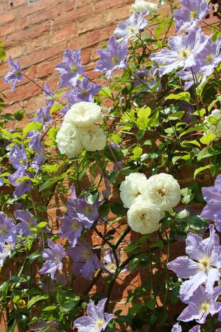 Climbing-roses-and-clematis-in-late-June