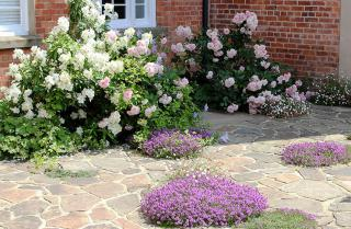 Roses-and-thymes-in-July